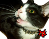 Angry satanic cat