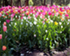 Araluen Tulips WIDE