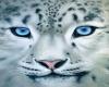 Snow Leopard Blue