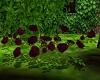 burgendy ground rose