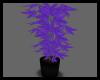 (DP)PurpleHaze Marijuana