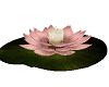 Sakura Water Lily