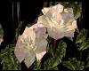 [FtP] Peace roses