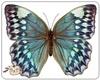 Bluebutterfly(pet)