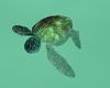 LKC Green Sea Turtle