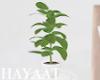 Mini Fig Plant