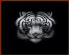 !  LOVELY WHITE TIGER