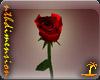 Valentine rose red