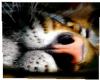 His Jungle Tiger 2