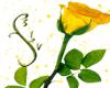 Yellow Rose Enhancer