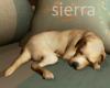 ;) Golden Pup