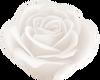 White Rose.1