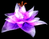 Glowing Sea Anemone Lily