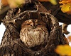 Autumn Owl 1