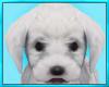 Pet Maltese Puppy