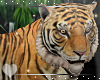 Tiger -Animated