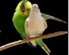 love birds transparent