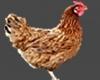 Chicken Animatie