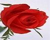 thorn rose tatt