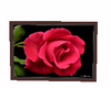 red roses picture 2