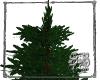 SB Glittering Evergreen