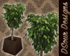 Godiva Dreams Plant II