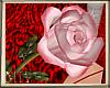 Valentine's Pink Rose