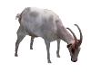 G*Goat
