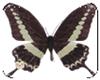 BlackButterfly(pet)