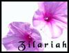 Convolvolus Flowers